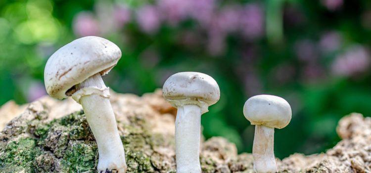 Le champignon de Paris, Agaricus Bisporus, 蘑菇
